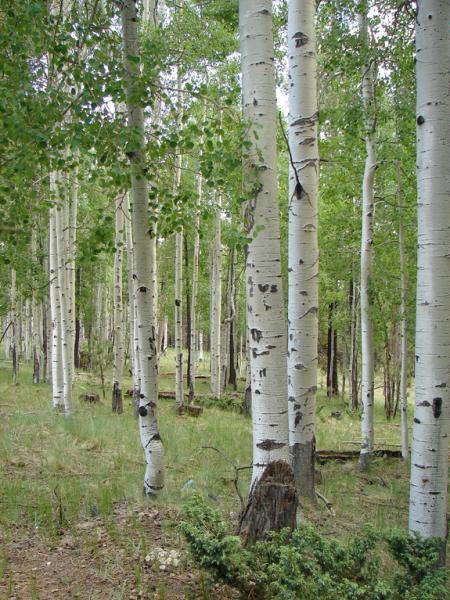 Вчимося читати й розуміти дерева. Осика – магічне дерево саду