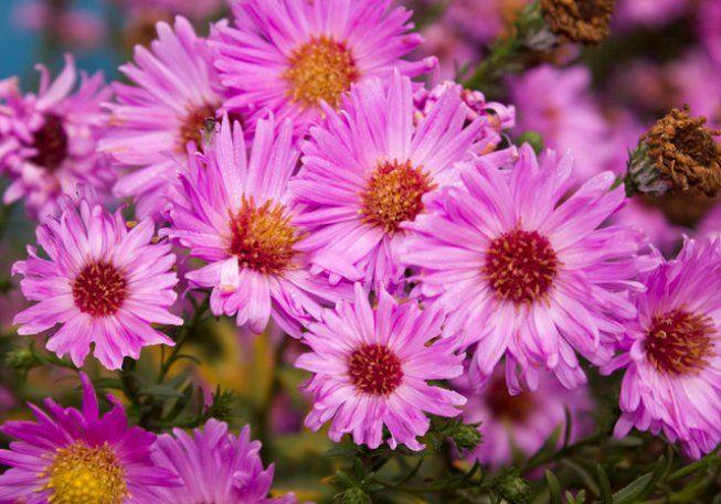 Астра (44 фото): все про сорти, висадку і догляд за квітами