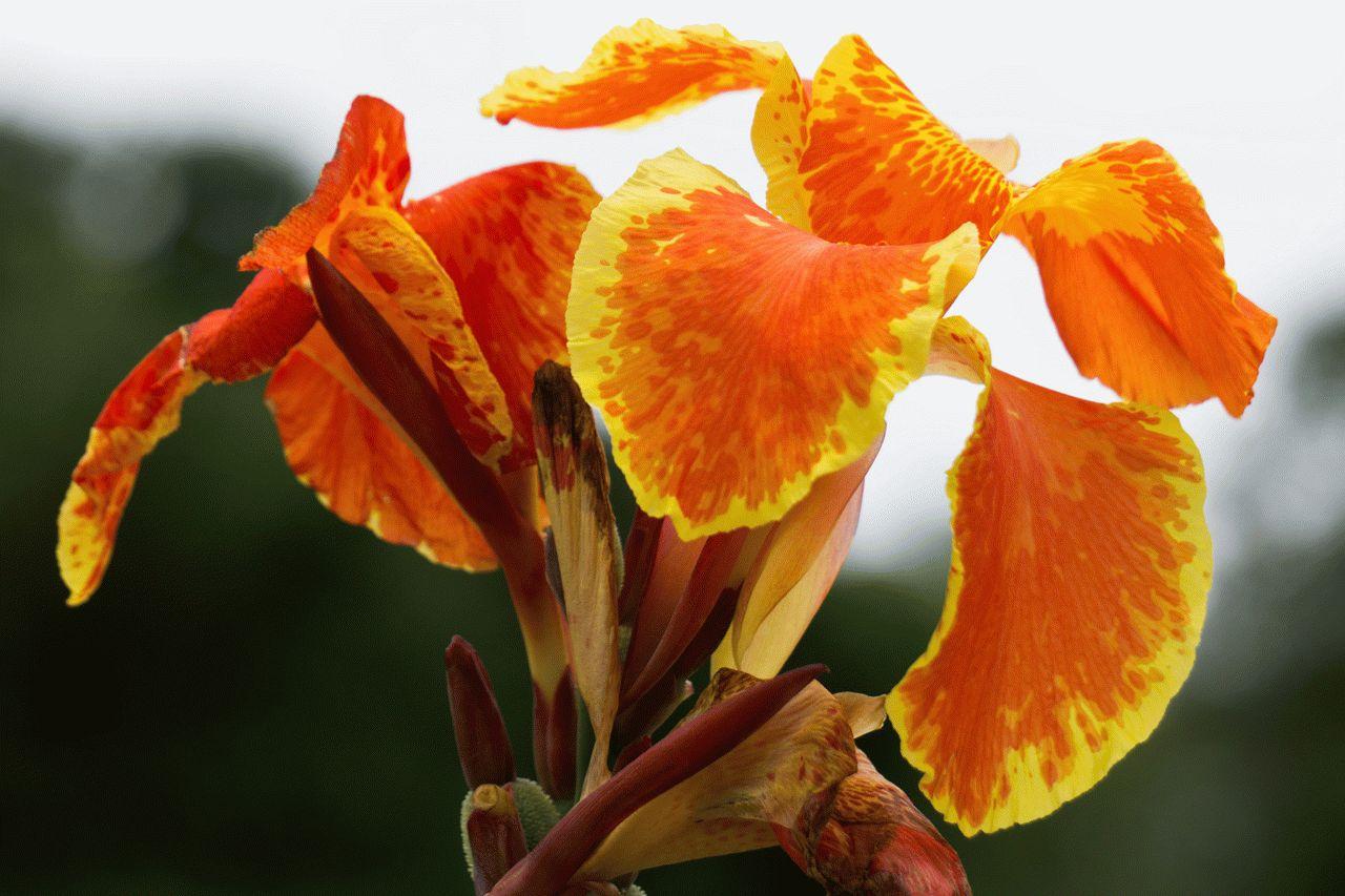 Квіти канна (45 фото): все про види, розмноження, посадку і догляд