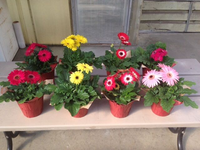 Гербера (50 фото квітів): види і правильний догляд