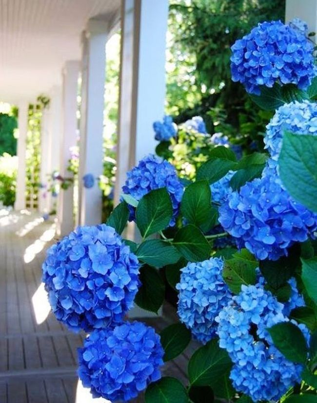 Гортензія (60 фото) – королева в вашому саду: види і особливості догляду