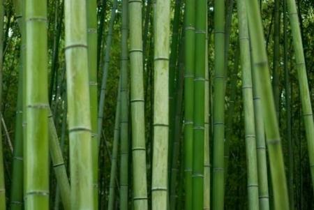 bambookovuj_lis_2.jpg