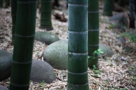 bambookovuj_lis_3.jpg