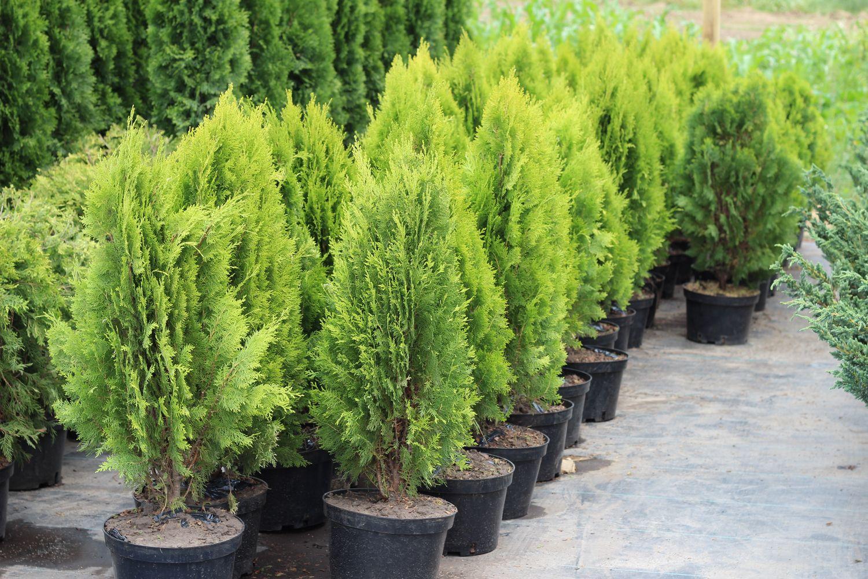 03-coniferous_bushes,_trees_23.jpg