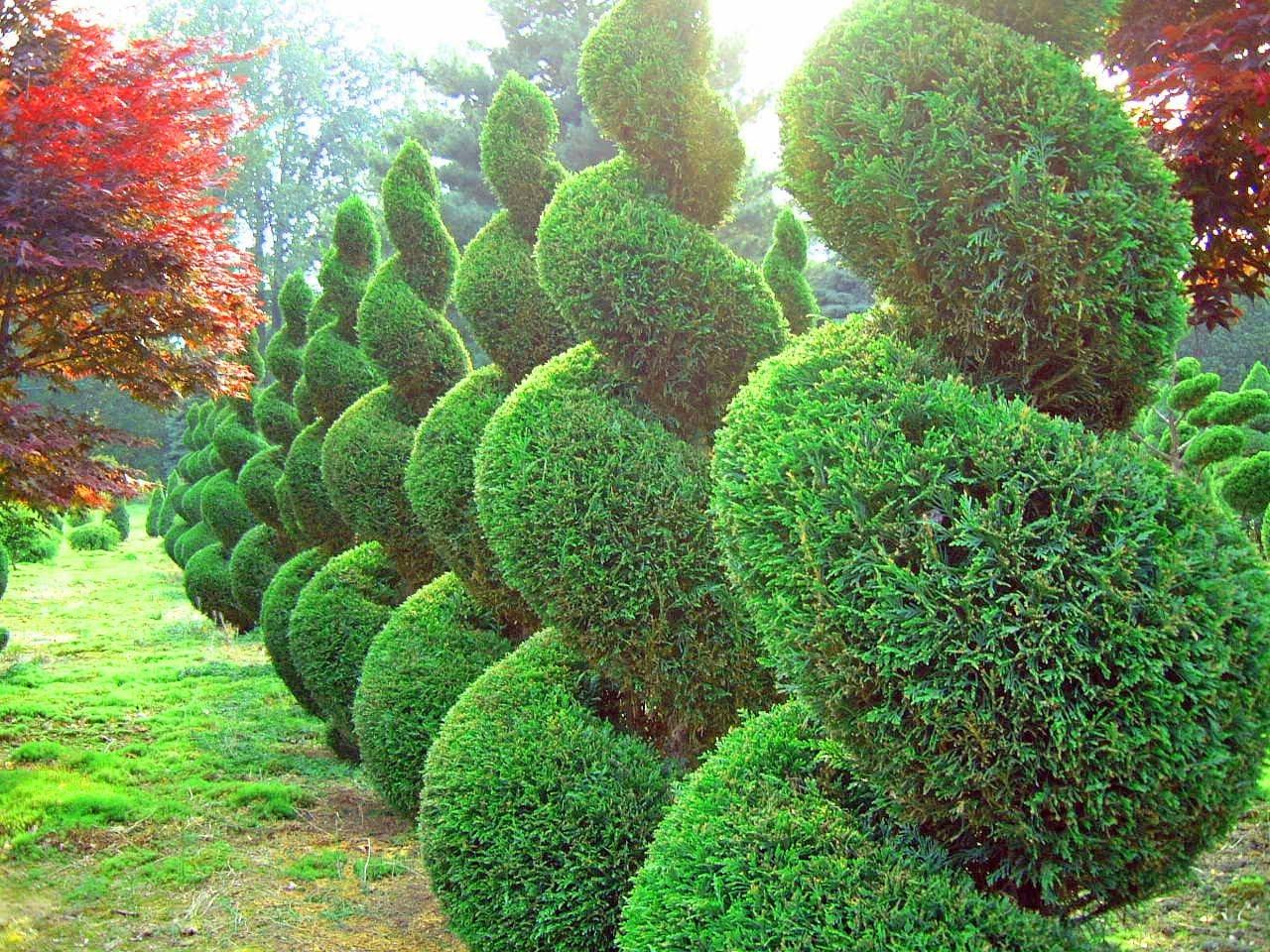 03-coniferous_bushes,_trees_25.jpg