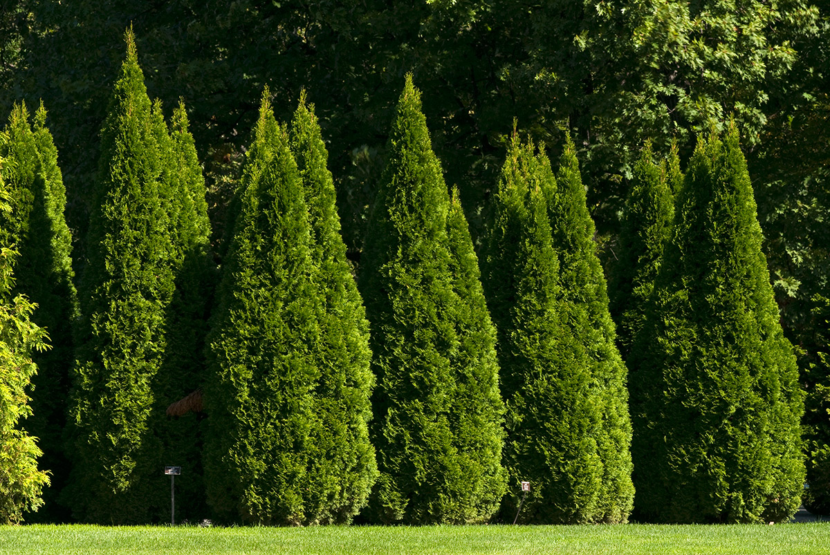 03-coniferous_bushes,_trees_6.jpg