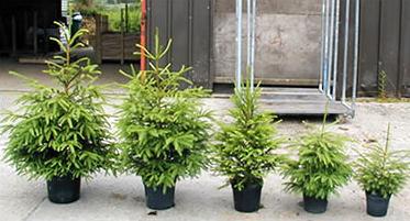 Великі рослини: чи багато користі садити взимку ялинку?