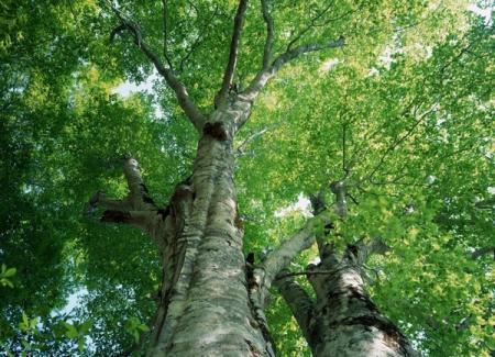 Осика – магічне дерево саду. Частина 2
