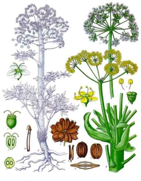 ferula_assa-foetida_-_khlers_medizinal-pflanzen-061.jpg