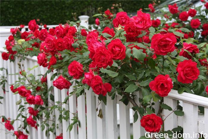 Кучеряві троянди у вертикальному озелененні