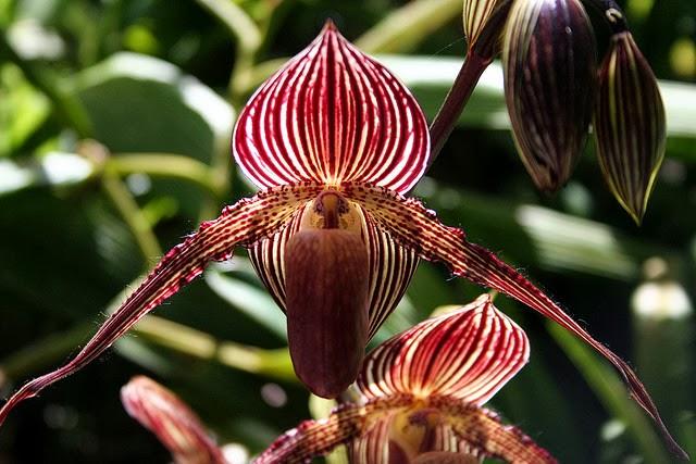 orhideya_zoloto_kinabaly.jpg