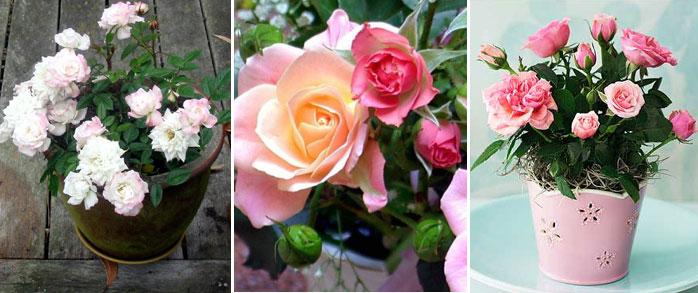roza_v_gorshke.jpg