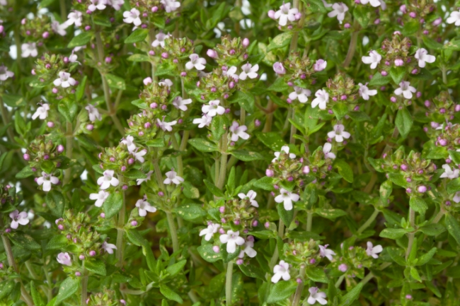 Найкращі рослини для саду прянощів