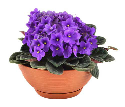 Комнатный цветок фиалка и уход