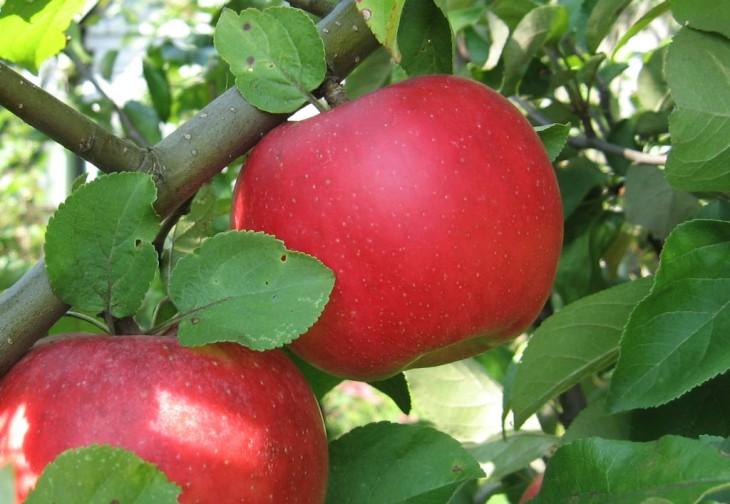 Формування міжрядь у яблуневому саду