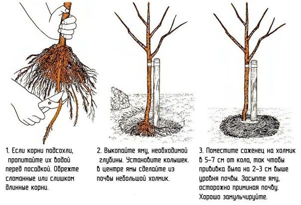 naibilsh_pidhodyashi_vidi_derev_i_chagarnikiv_dlya_gazony_13.jpg