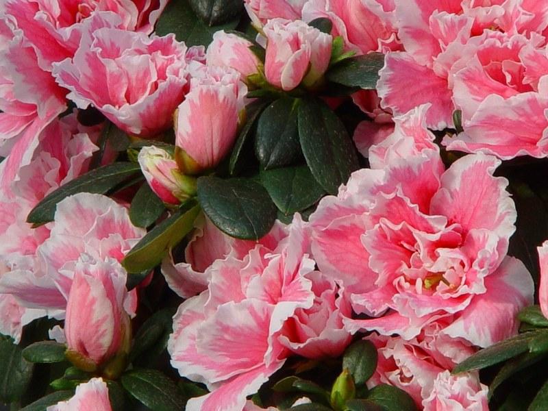 rododendron_simsa.jpg