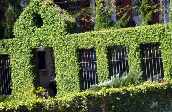 Жива огорожа – як правильно підібрати рослини