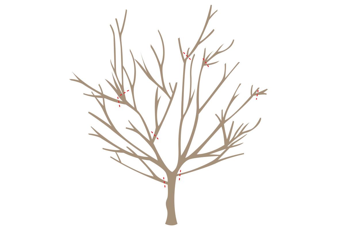 Як підрізати плодові дерева