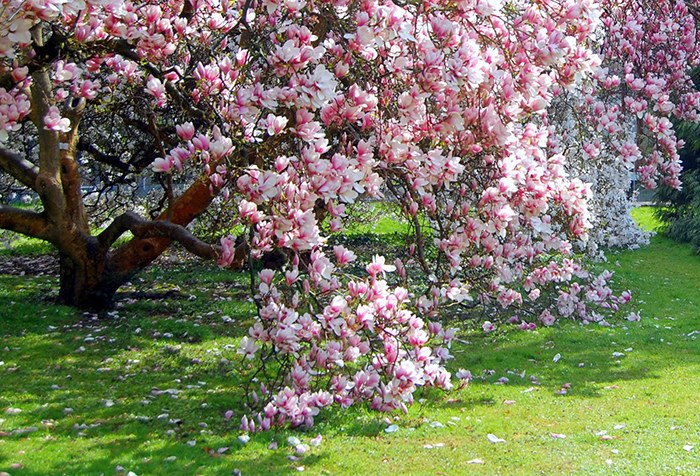 magnolii_2016.jpg