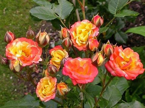 Що таке поліантові троянди