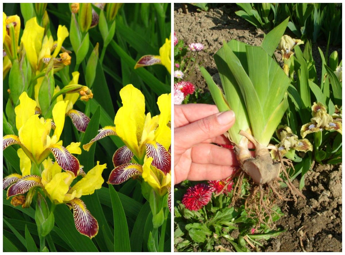 Як підготувати квіти і кущі до осені та зими
