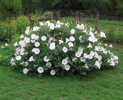 moonflowers.png