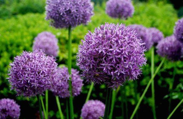 Квіти-сухоцвіти: 20 найкрасивіших рослин та ідеї композицій