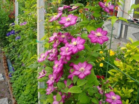 Клематис – сорти, посадка, догляд. Як саджати та вирощувати?