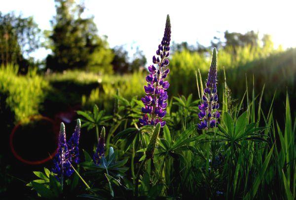 Невибагливі квіти і рослини багаторічники для саду