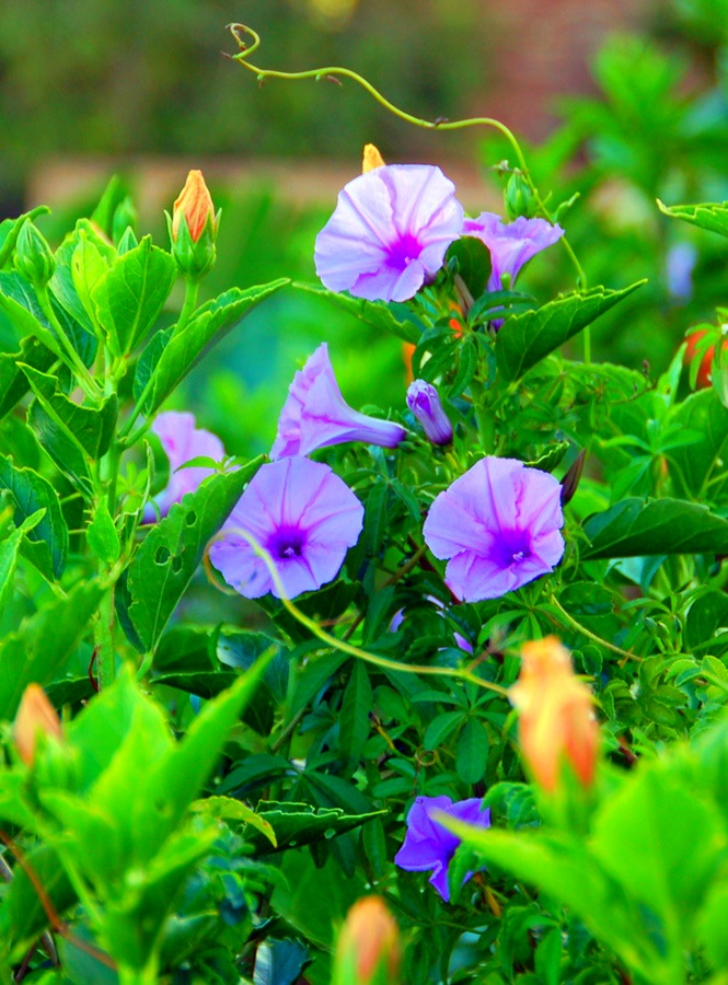 Циркові акробати – в'юнкі рослини для саду