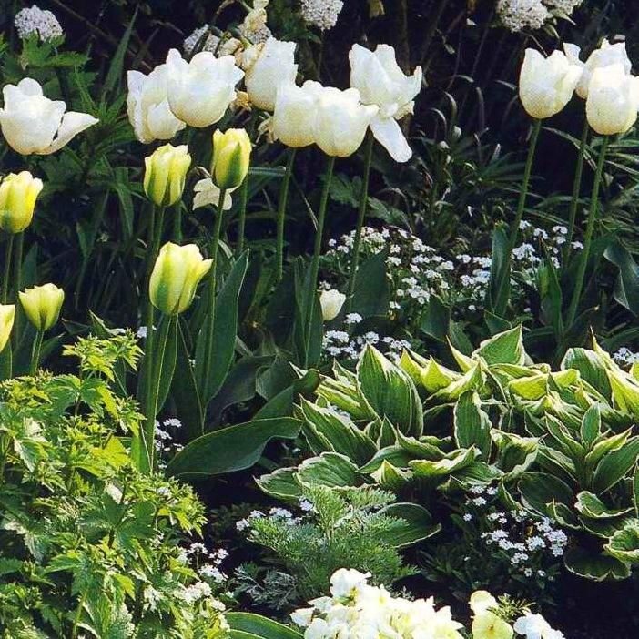 Супутники для тюльпана