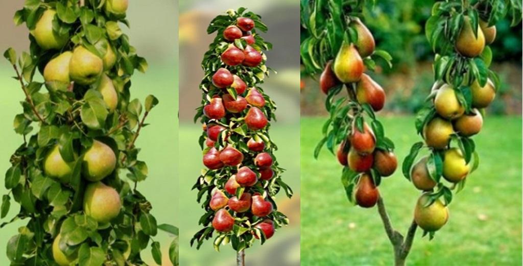 Кто сажал колоновидные яблони 660