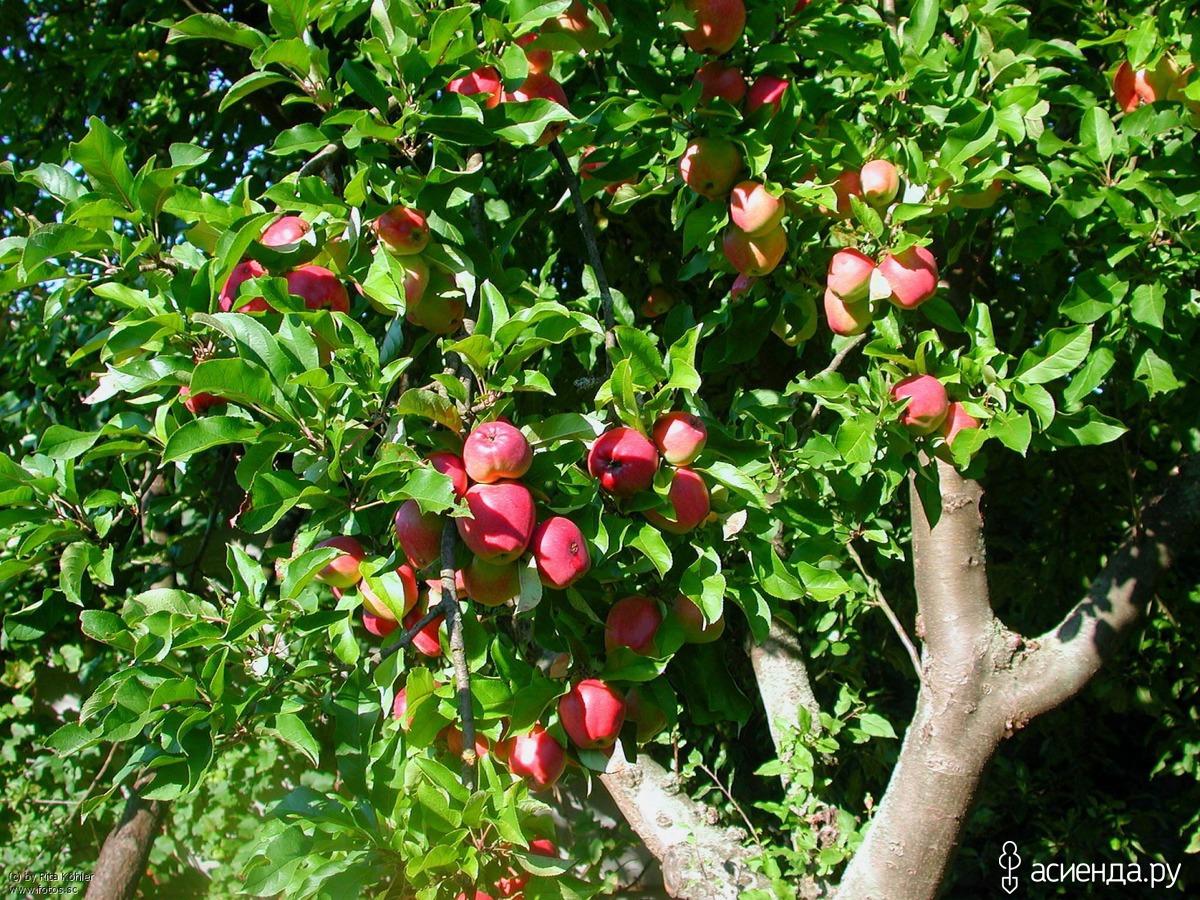 Совместимость плодовых деревьев с другими - «Ваш сад и дача 49