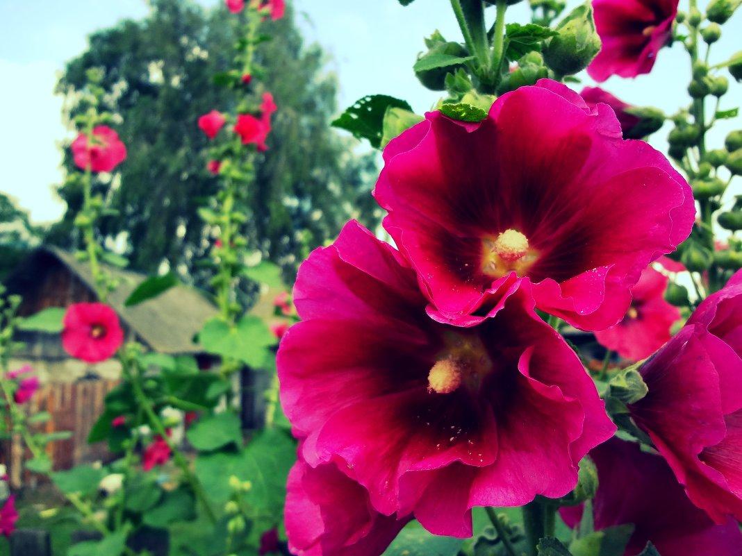 Які квіти саджають в серпні - список