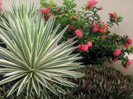 Юка - рослина, яка приносить щастя