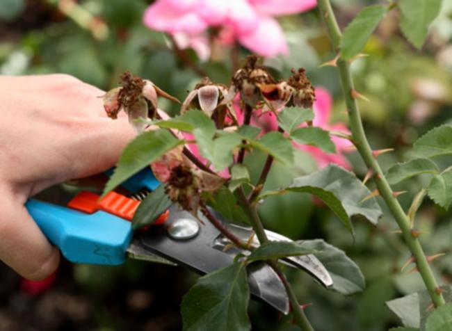 Як правильно обрізати троянди після цвітіння
