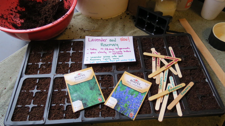 Як виростити лаванду з насіння