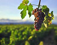 wine_grapes_climate_change_e360.jpg